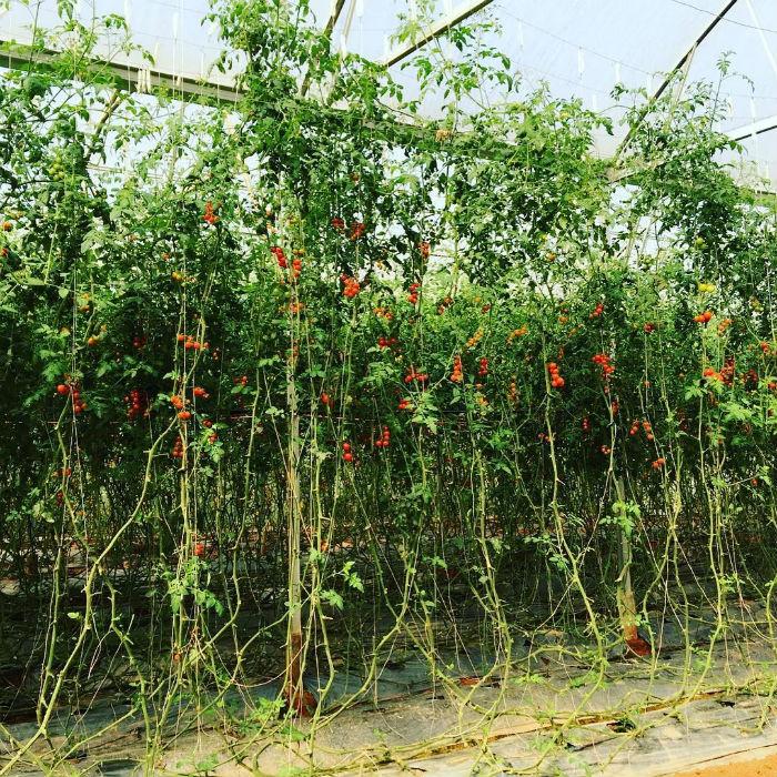 Còn có cả vườn cà chua ở vườn dâu Nhật