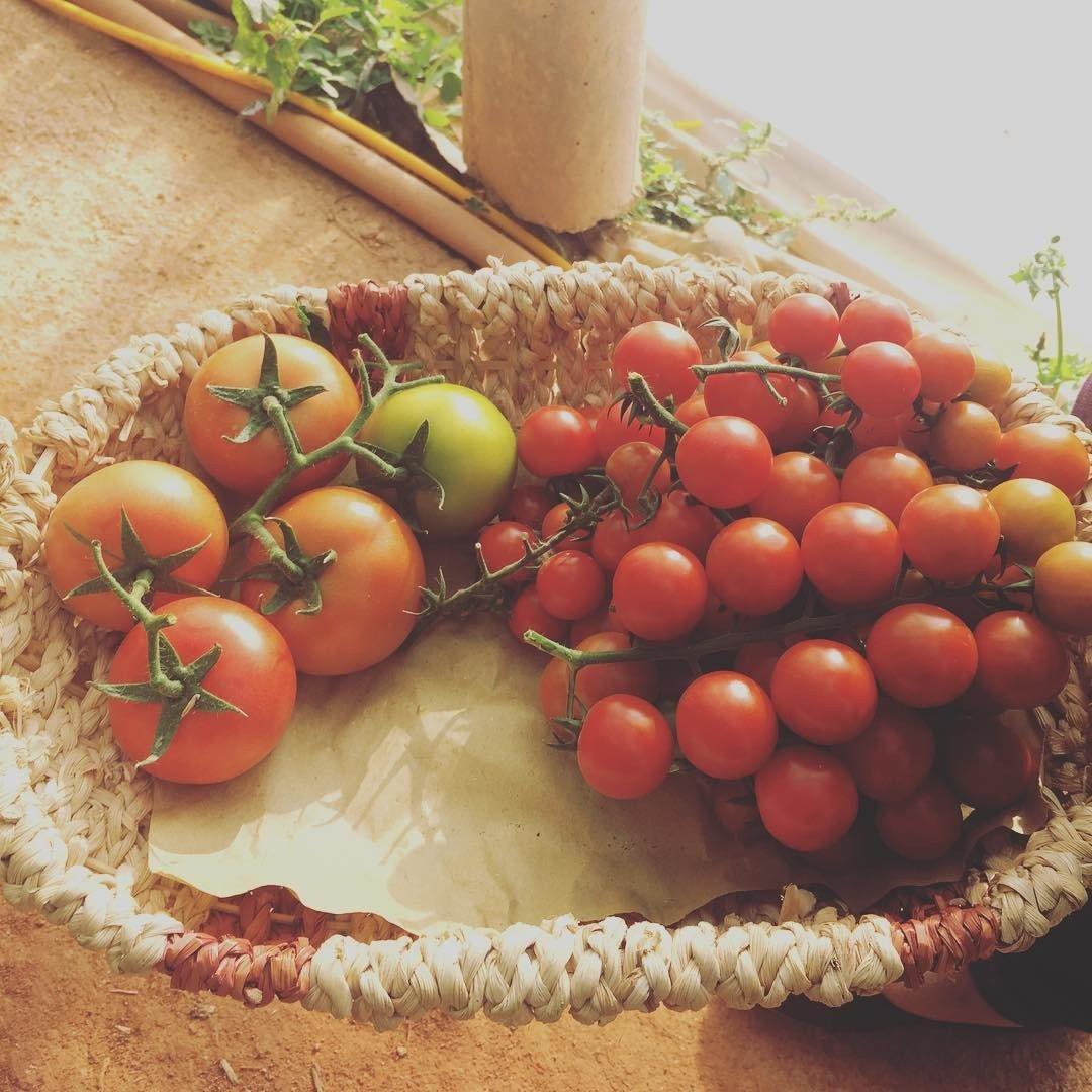 Cà chua sạch của vườn dâu Nhật