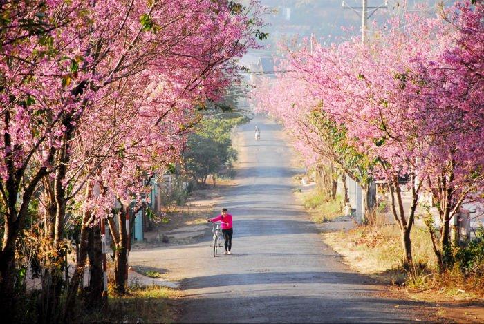 Cung đường hoa anh đào lãng mạn ở Đà Lạt