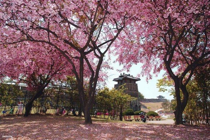 Đường hoa anh đào tại pháo đài Hwaseong