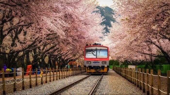 Đường phố Seoul ngập tràn sắc hoa anh đào
