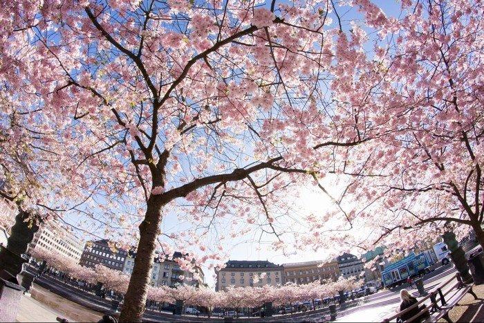 Lạc lối ở đường hoa anh đào tại Stockholm