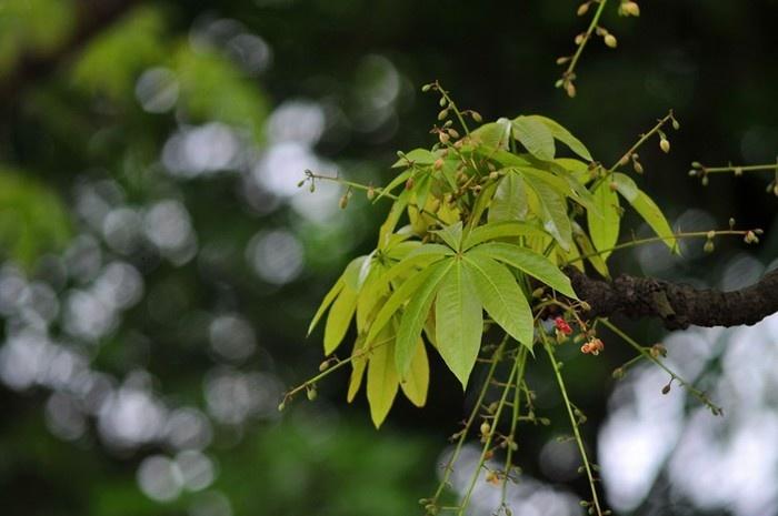 Những ngày đầu mùa, hoa mõ nấp mình bên những chiếc lá xanh xòe rộng như cánh quạt