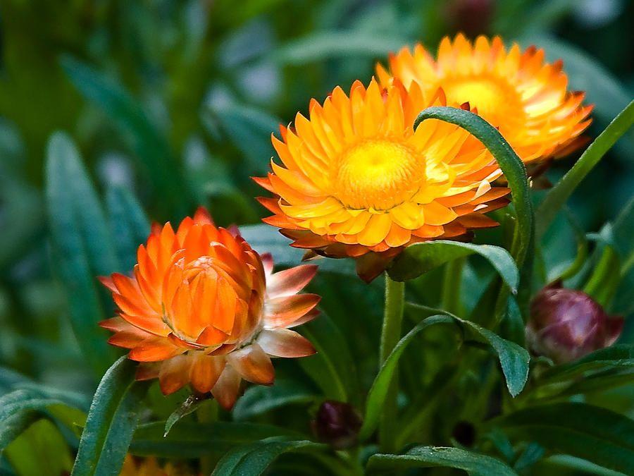 Đến Đà Lạt nghe sự tích hoa Tầm xuân