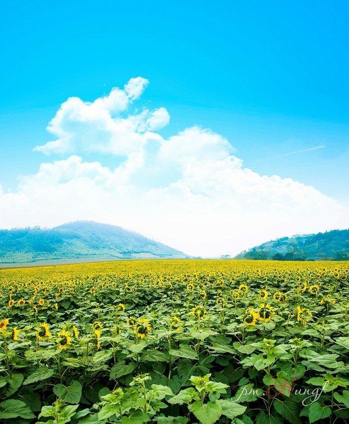 Cánh đồng hoa hướng dương ở Nghệ An