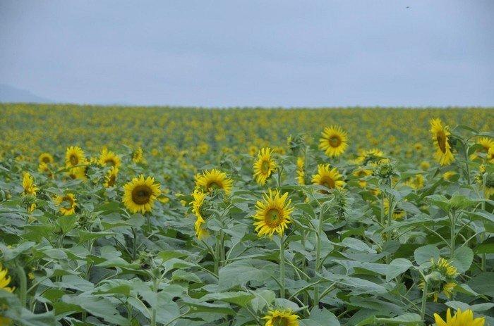 Hoa hướng dương được trồng để cung cấp thức ăn cho bò sữa và lấy tinh dầu
