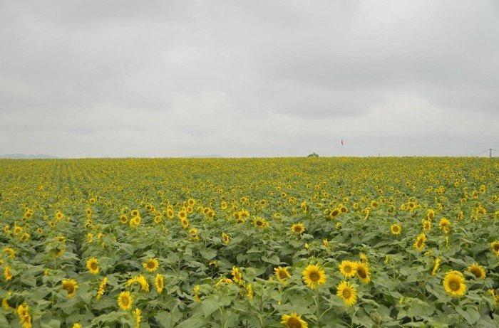Mênh mông hoa nắng về trên đất xứ Nghệ