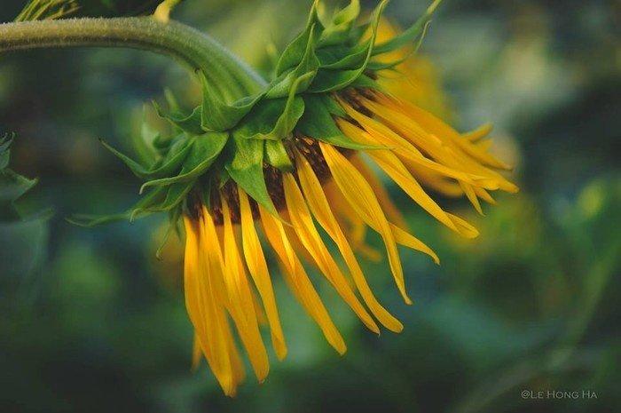 Loài hoa này luôn nở và hướng về phía Mặt Trời