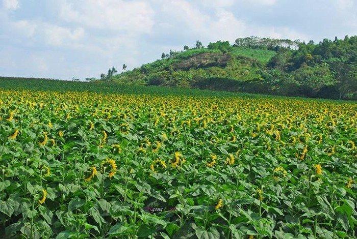 Cánh đồng hoa được ôm ấp bởi núi non và những rặng cây