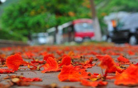 Phượng nở đỏ thắm những nẻo đường