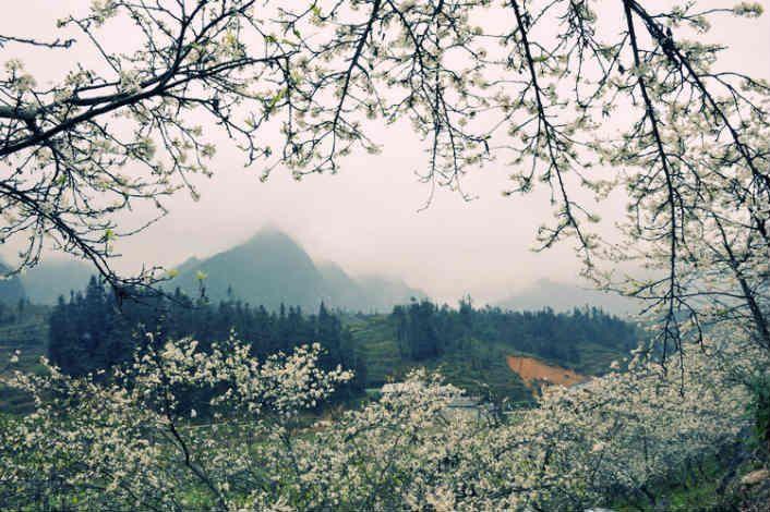 Hoa mận vùng Tây Bắc đẹp ngỡ ngàng khiến dân du lịch say đắm