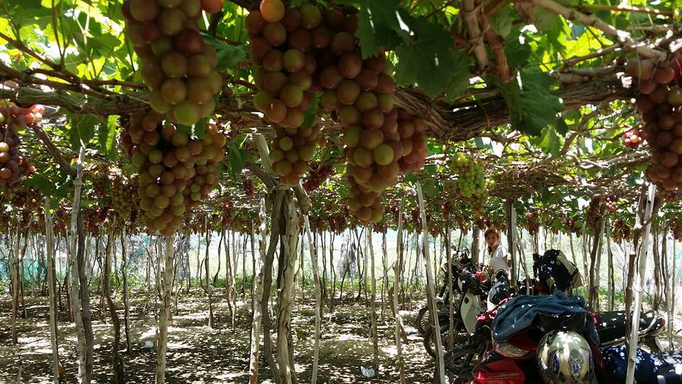 Ninh Thuận là một tỉnh thuộc duyên hải Nam Trung Bộ. Những vườn nho xanh mướt nằm dọc biển ở đây từ lâu đã mang thương hiệu rất riêng của vùng đất đầy nắng và gió.