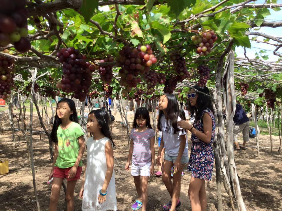 Hè đến, cũng là dịp nhiều gia đình dẫn trẻ nhỏ đến tham quan để được tận mắt chiêm ngưỡng vườn nho sai trĩu quả và có thể trải nghiệm công việc làm vườn thực thụ như: trồng nho, cắt cành, tỉa lá, cắt chùm khi thu hoạch.