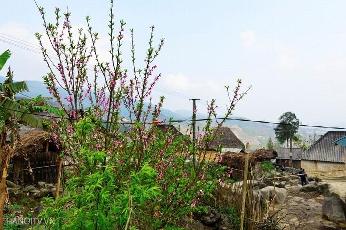 Những cành đào hồng phớt bên những ngôi nhà nấm