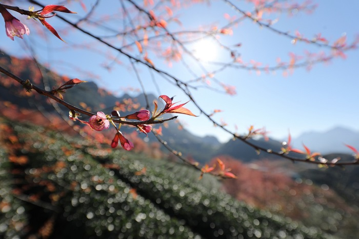 Mai Anh Đào Sapa Bừng Nở Đẹp Như Mơ Giữa Ngày Đông Miền Bắc