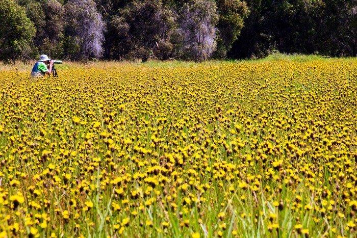 Một một mùa hoa, cánh đồng Hoàng Đầu Ấn lại thu hút nhiều du khách đến đây ngắm nhìn và săn ảnh