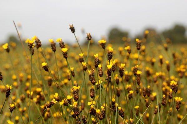 Hoa Hoàng Đầu ấn dịu dàng khoe sắc trên đồng nắng