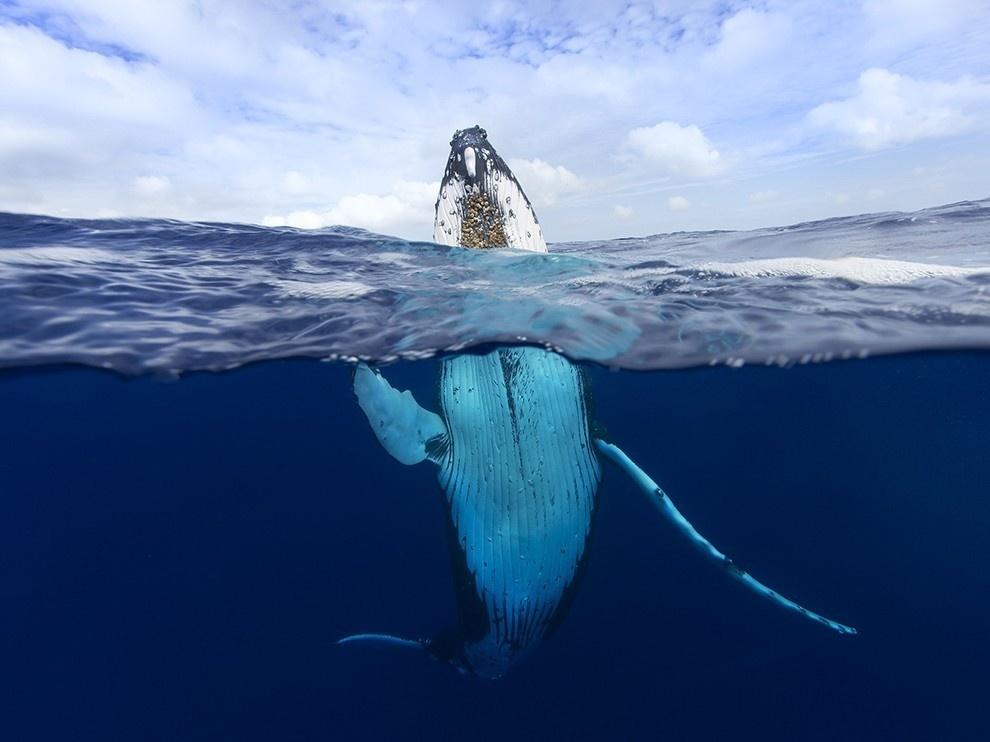 Chú cá voi lưng gù ở Tonga