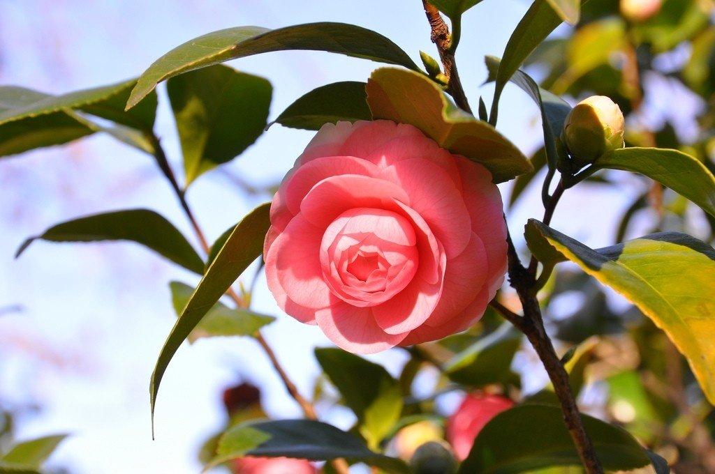 Hoa trà biểu trưng cho sự tuyệt vời, lòng ngưỡng mộ, sự duyên dáng và đức khiêm cung