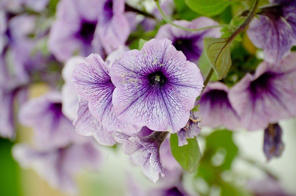 Dạ Yến Thảo - loài hoa toát lên một nét đẹp e ấp dịu dàng