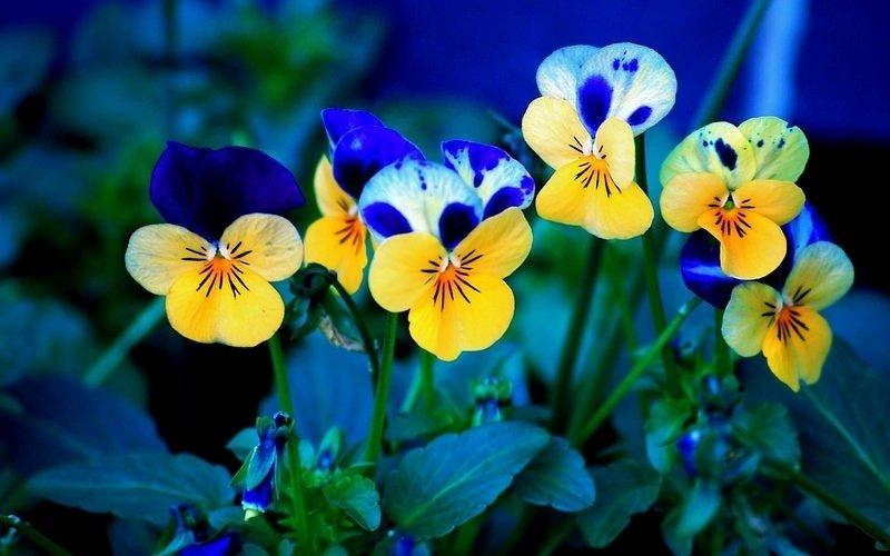 Hoa nghệ tây tượng trưng cho sự vui mừng, tươi tắn