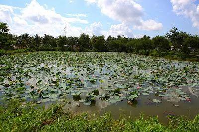 Ao sen làng Liên Trì Quảng Ngãi