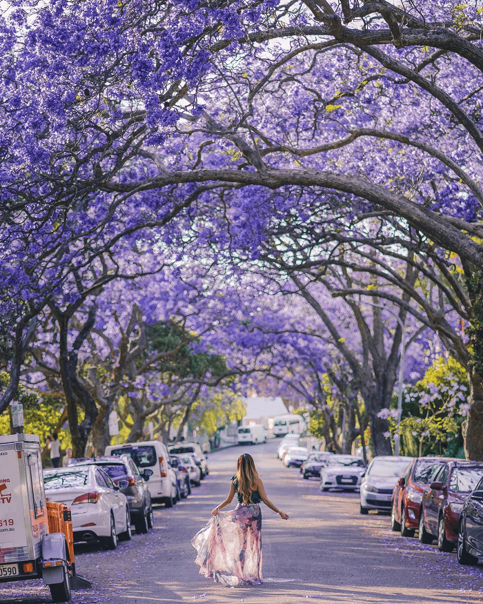 Tháng 9 này thưởng ngoạn sắc hoa phượng tím Nam Phi