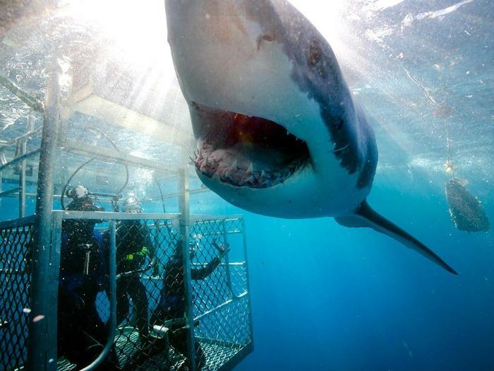Trải nghiệm cảm giác có một không hai khi được chạm đến cá mập Úc