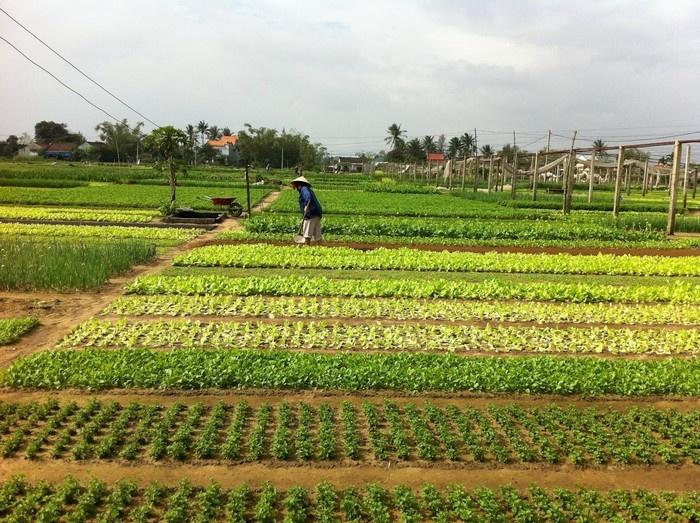 Vườn rau xanh mát ở làng rau Trà Quế - Hội An