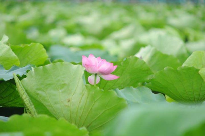 Mùa hè những bông hoa sen Hồ Tây tuyệt đẹp