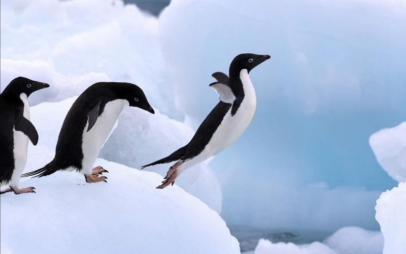 3. Chim cánh cụt tập bay.