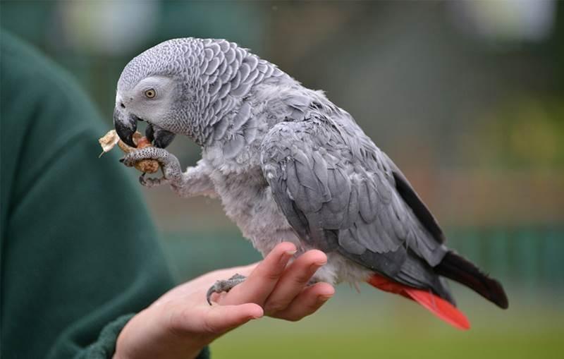 Top 10 loài chim biết nói thông minh nhất thế giới
