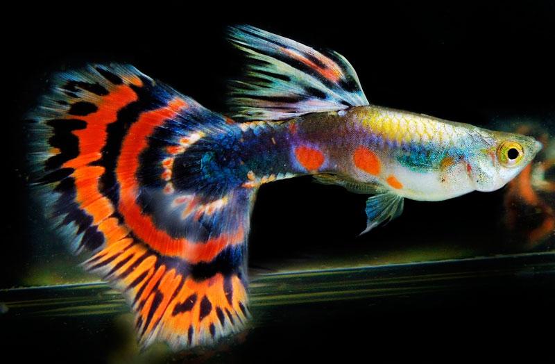 Là loài cá nhỏ nhưng màu sắc đa dạng và phong phú nhất.