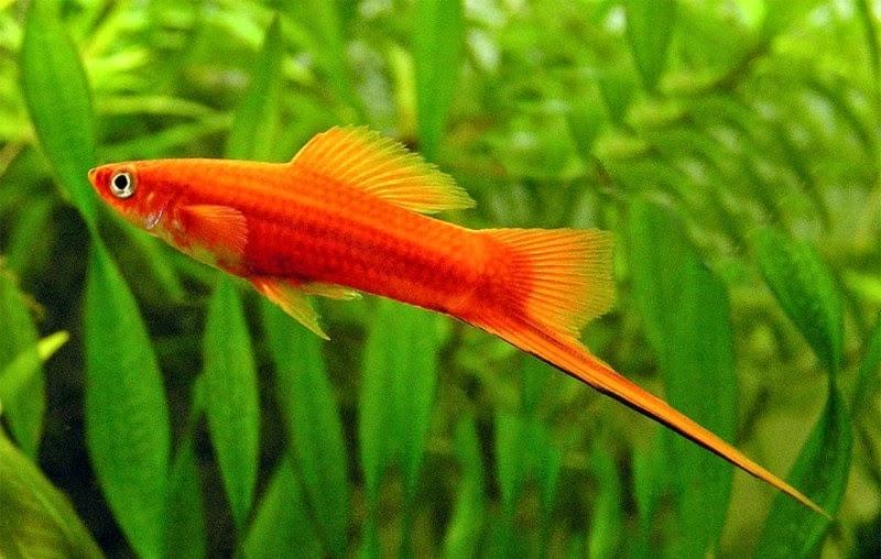 Thanh dài như kiếm dưới thùy đuôi của cá đực.