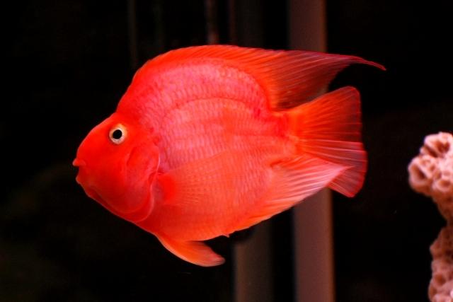 Màu đỏ rực mang lại may mắn cho người nuôi.