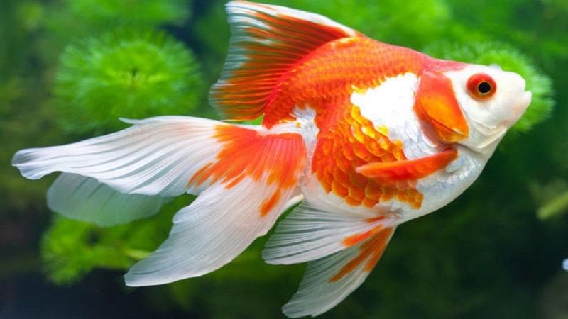 Vẻ đẹp của cá vàng.