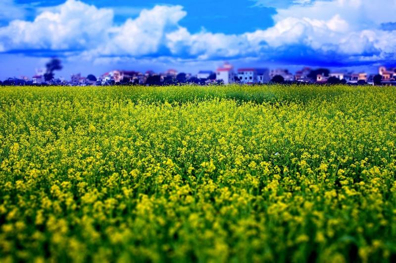 Cánh đông hoa cải vàng