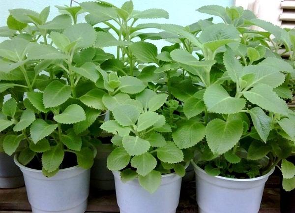 Hình ảnh húng chanh được trồng trong chậu