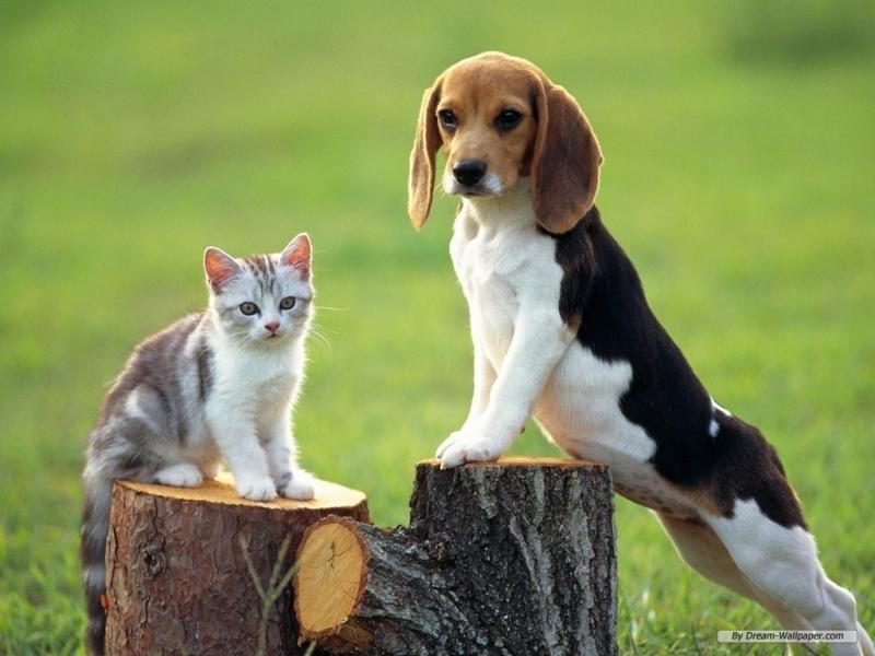 Chó Beagles