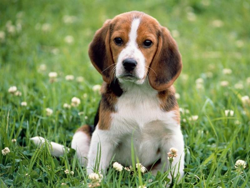 Giống chó Beagles thường rất nhẹ nhàng nhưng vô cùng tinh tế