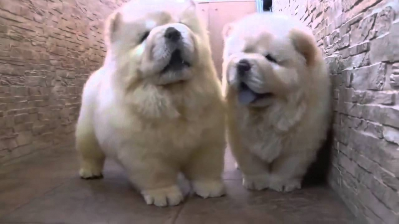 Giống chó Chow Chow có nguồn gốc từ Trung Quốc