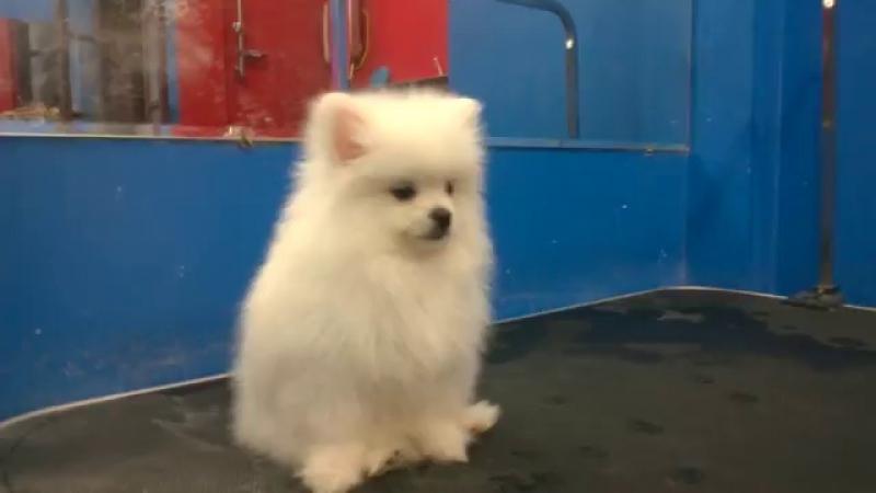 Chó Pomeranian