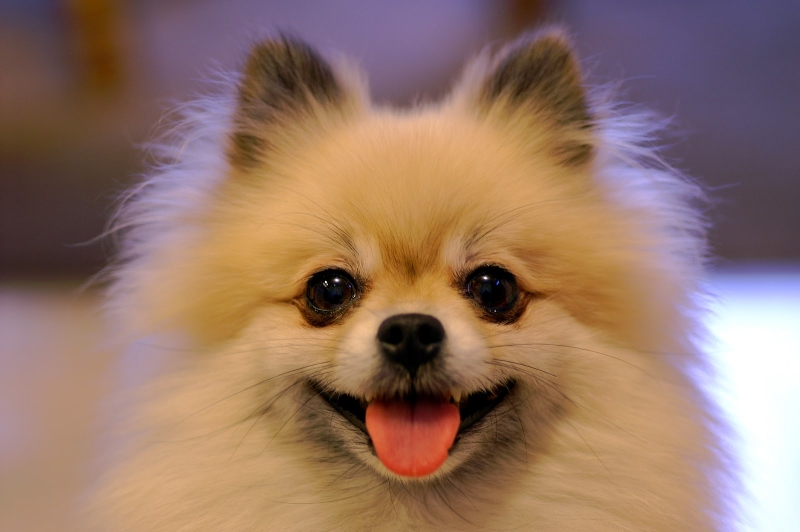 Chó Pomeranian là loài chó cảnh đáng yêu bậc nhất trên thế giới