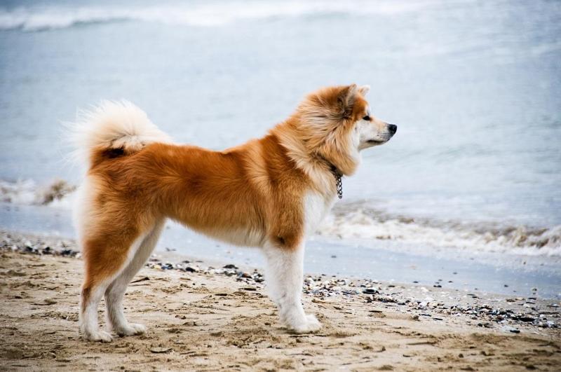 Giống chó cảnh có nguồn gốc xuất xứ từ Trung Quốc