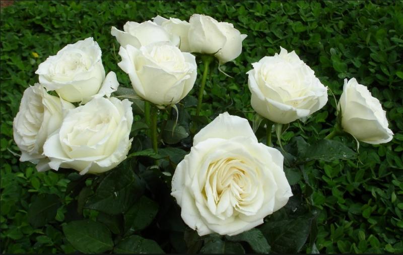 Chữa ho bằng hoa hồng bạch: