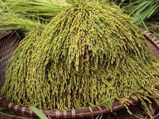 nếp cái hoa vàng tạo nên hương vị đặc trưng cho Cốm Vòng