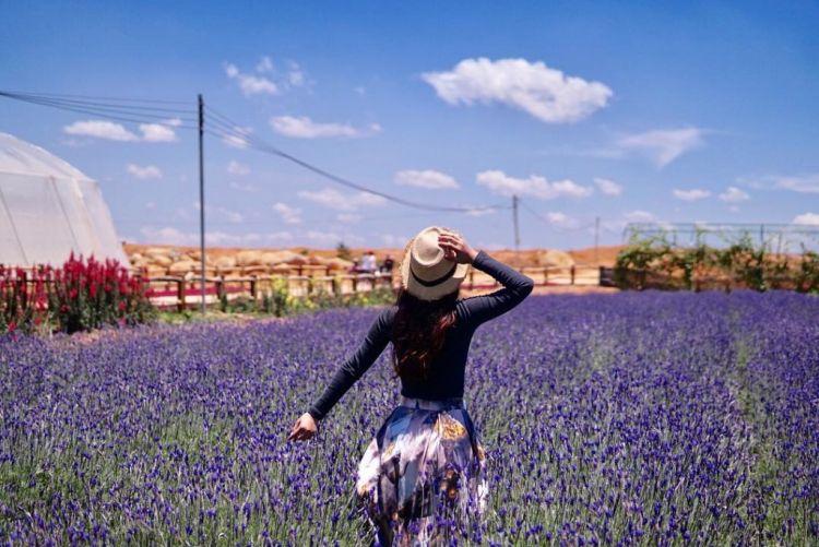 Cánh đồng hoa Lavender đồi chè Cầu Đất