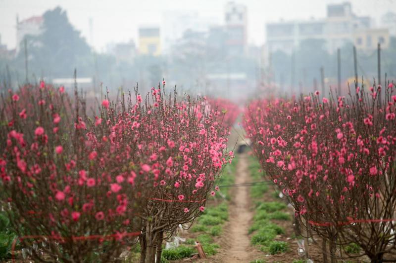 Hoa đào Nhật Tân , Hà Nội